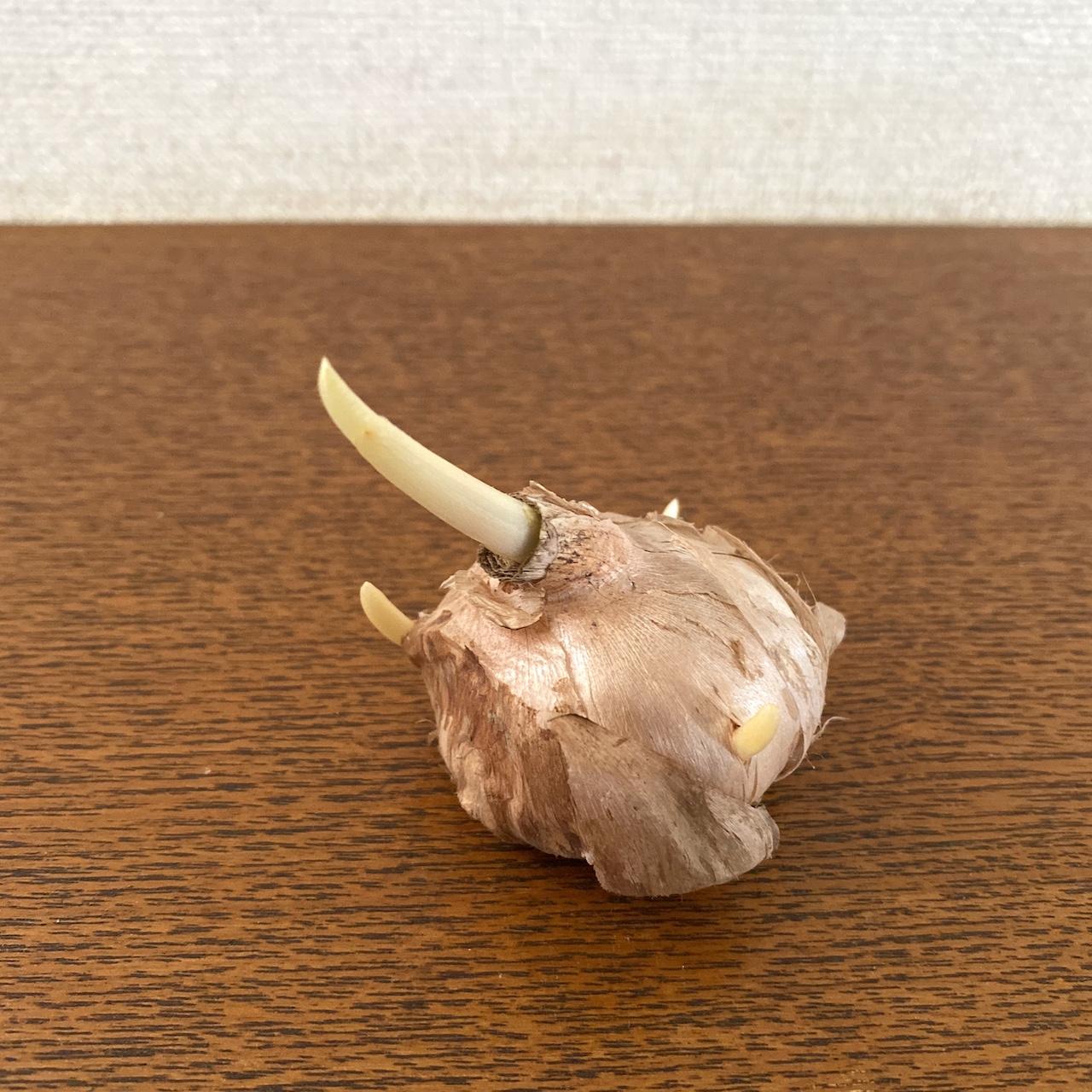 アーユルヴェーダ自然のお薬:サフラン栽培日記 斜めの球根