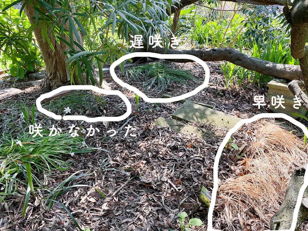 庭に植えたサフラン、掘り出す前