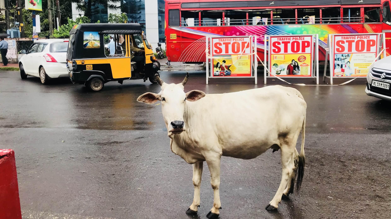 カヌール町中の牛