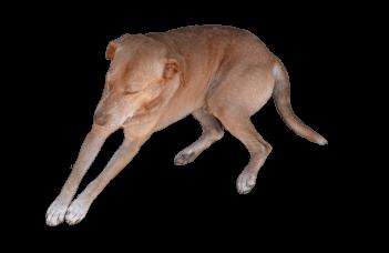 スリランカのくつろぐ犬