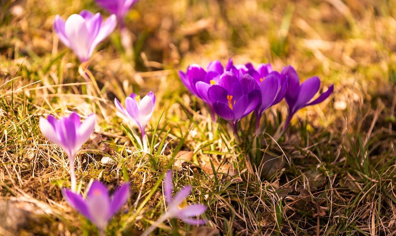 土から生えたサフラン、紫色の花