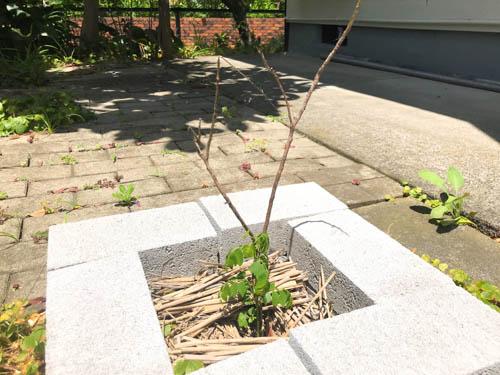 2018年6月5日藁の下からカレーリーフの新芽が出てきました