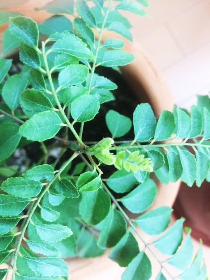 カレーリーフの新芽たち