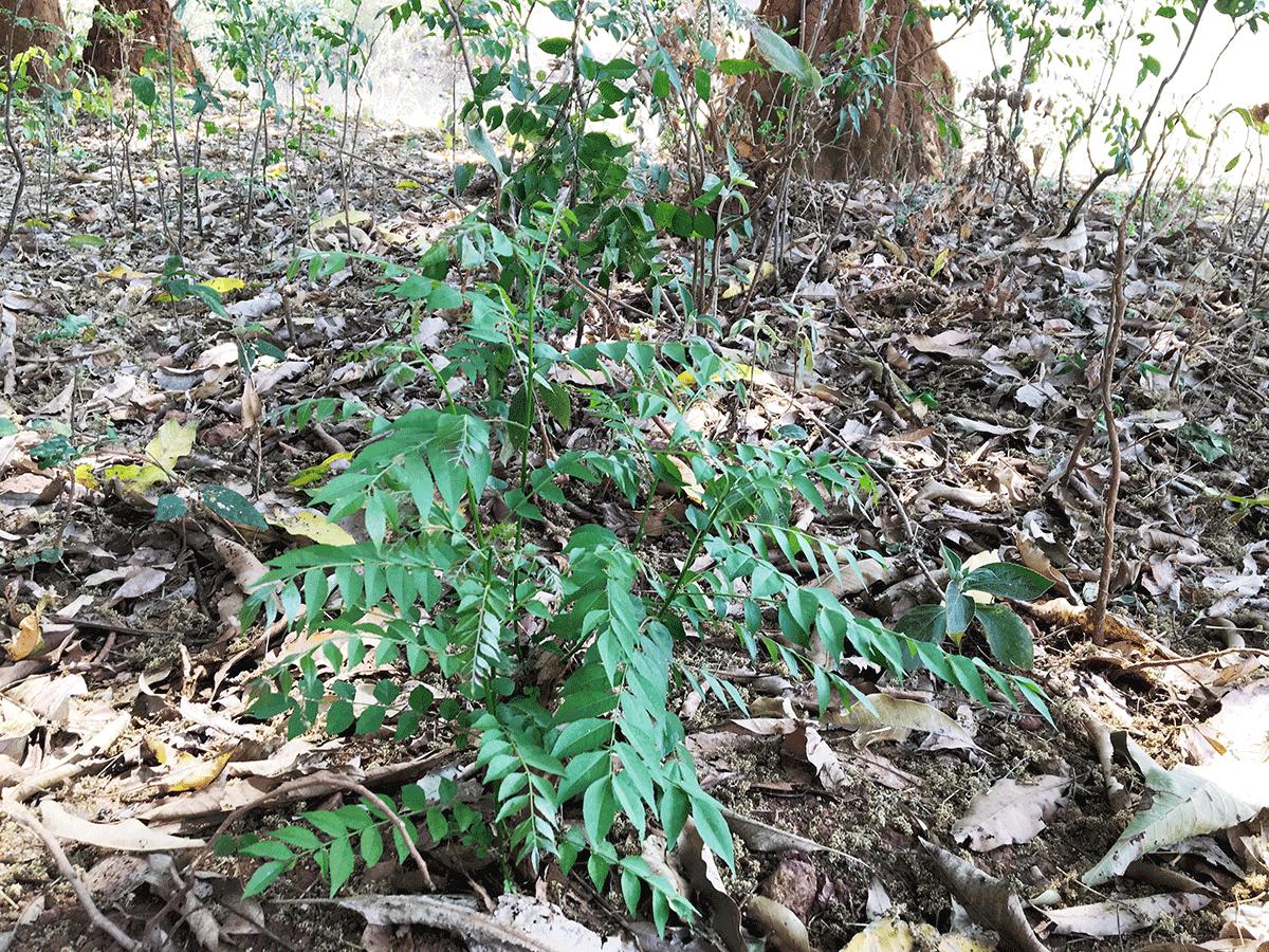 オリッサの森で見つけた野生のカレーリーフ