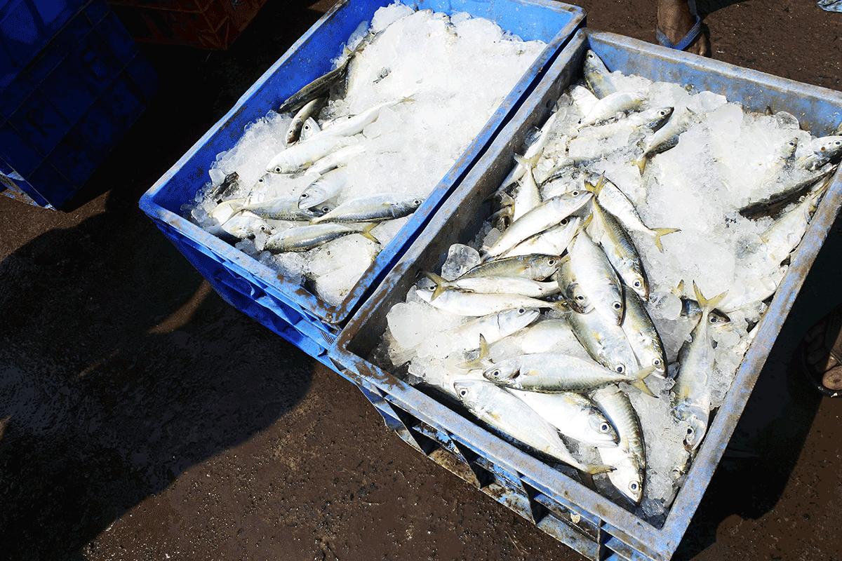 ケララ州カヌールのモダンフィッシュマーケット、氷漬けにされた魚達
