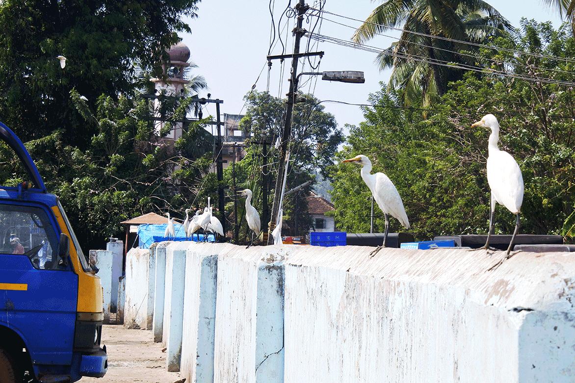 ケララ州カヌールのモダンフィッシュマーケットの塀には、魚を狙う鳥たちが大気