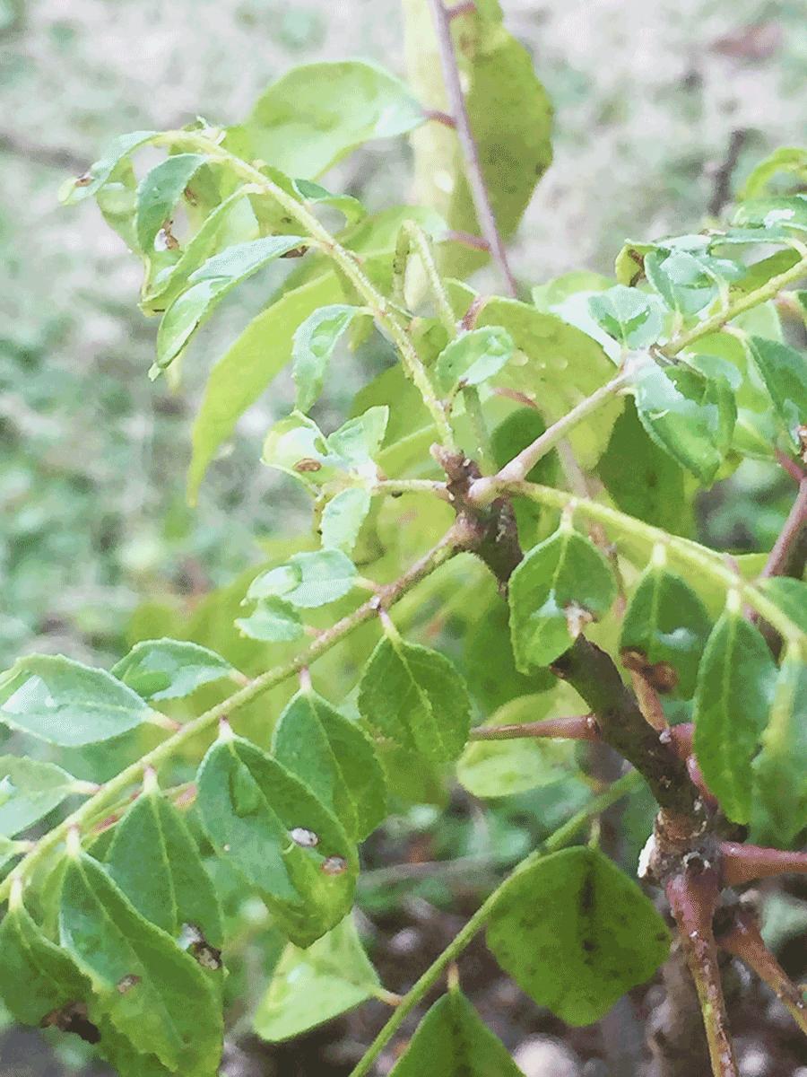 カレーリーフの新芽