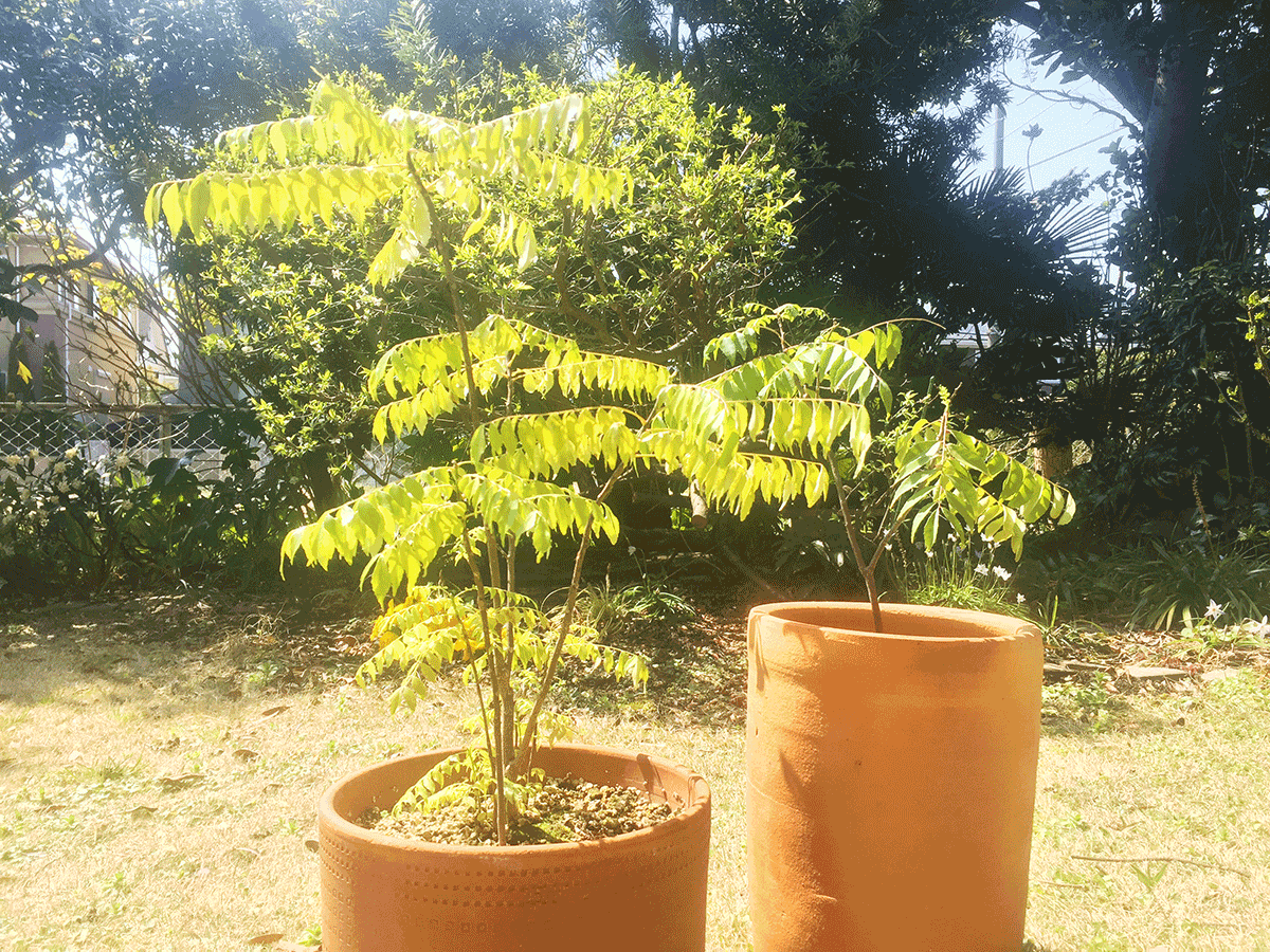 鉢植え4年目のカレーリーフ
