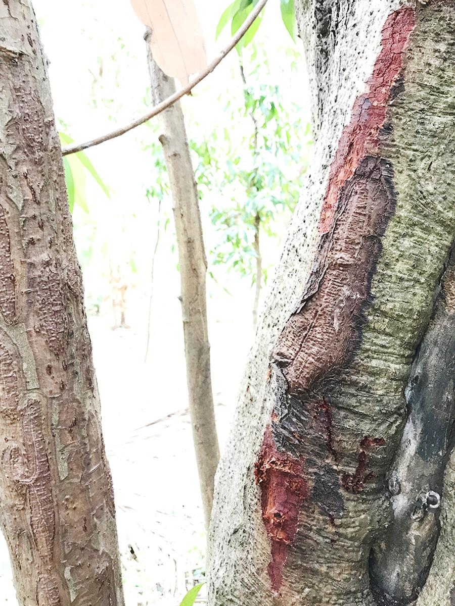 ビリヤニの木、シナモンの樹皮を剥いだところ