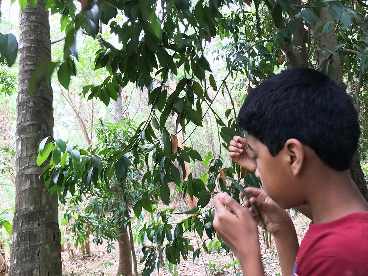 ビリヤニの木、シナモンの葉っぱを買いでいるところ