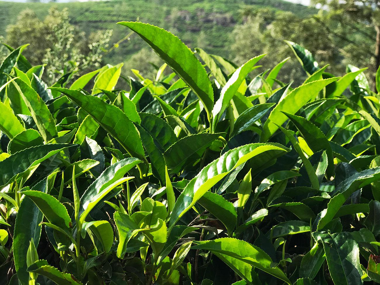 ニルギリの茶畑、お茶っ葉