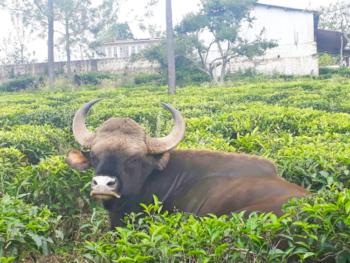 Sun valley homestay横の茶畑に現れるバッファロー