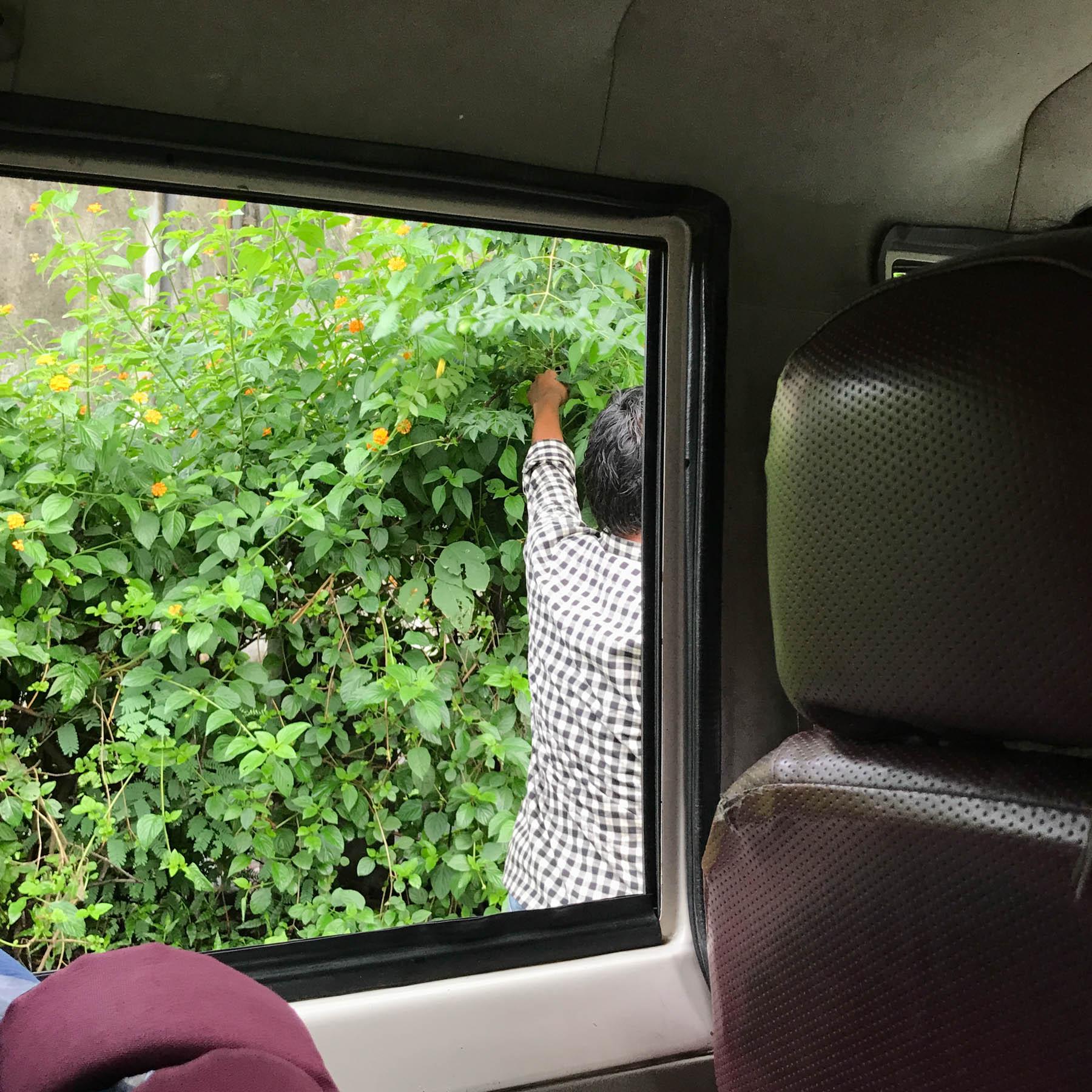 ウッタラカンド、ハルドワニからアルモラへの道 草を摘む運転手