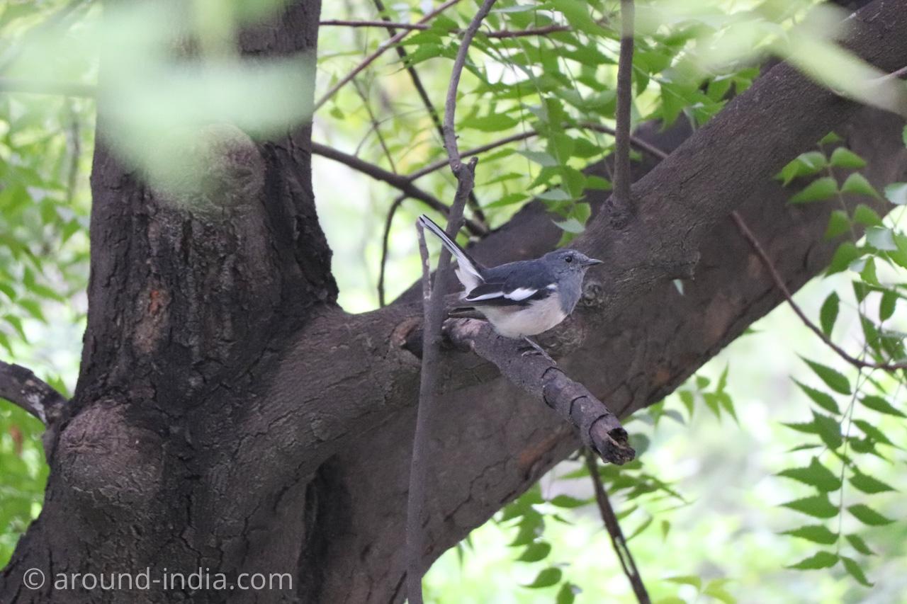 デリーのホテルHaveli Hauz Khas ニームの木にとまる鳥