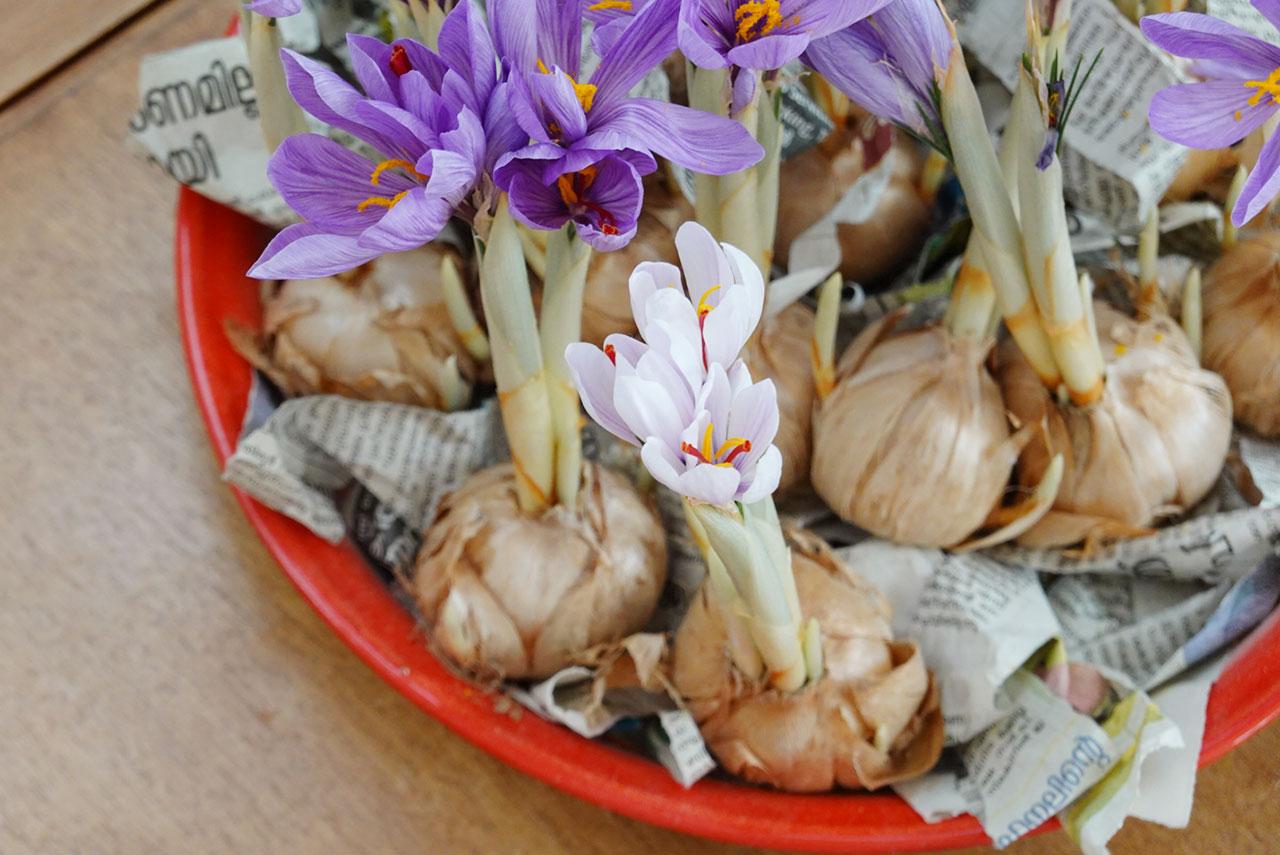 アーユルヴェーダ薬 サフラン栽培日記 白い花