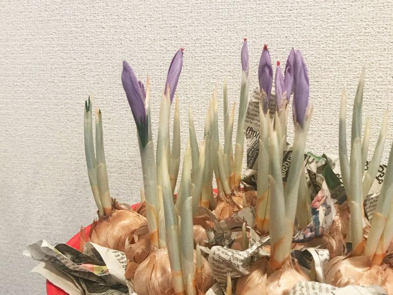 サフラン栽培日記 室内 開花 アーユルヴェーダ薬