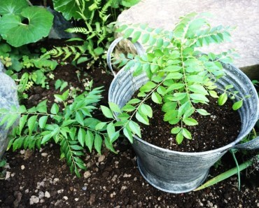 地植えと鉢植えのカレーリーフ