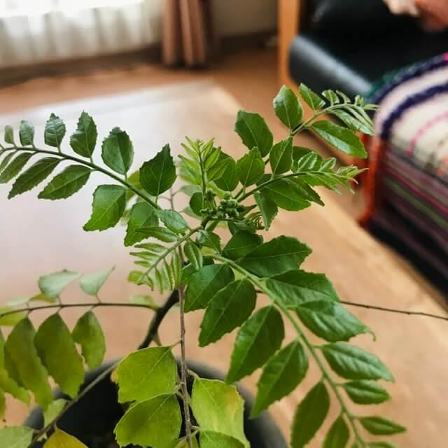 AROUND INDIAのカレーリーフ栽培日記